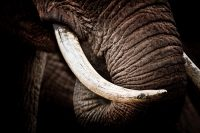 The elephant's tusks are material to its pesona; they are also its biggest liability.
